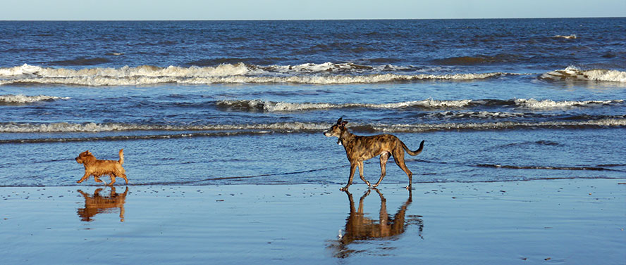 Dogs running on a Norfolk beach